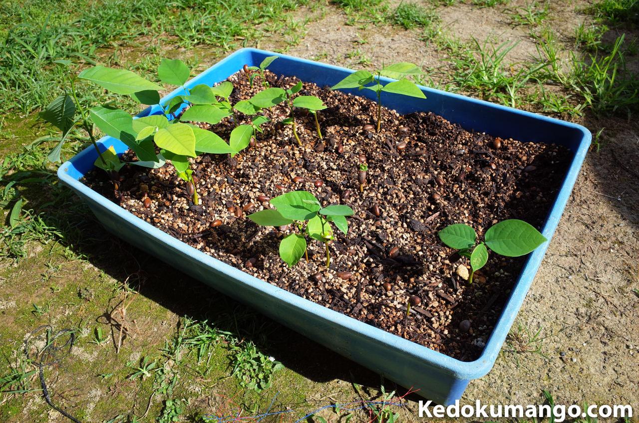 苗床で発芽したアテモヤ