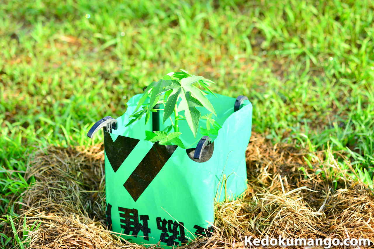 肥料袋で保護するパパイヤ_1