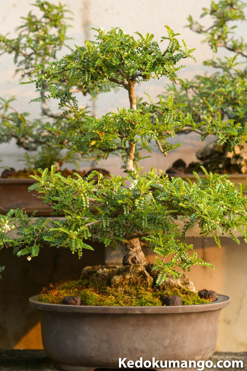 テンバイの盆栽