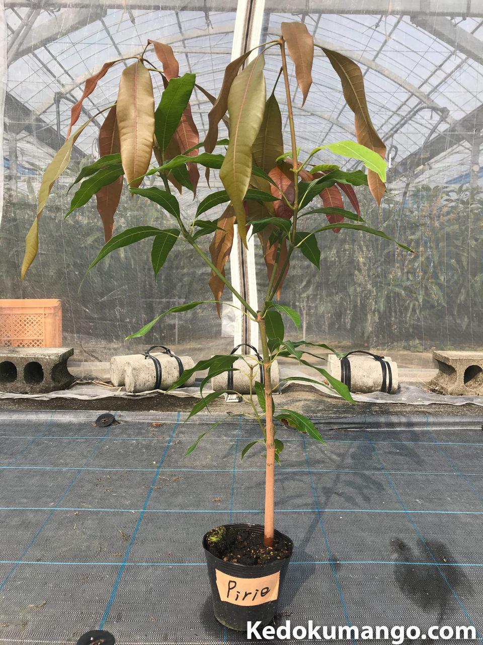 マンゴーピリエの苗木