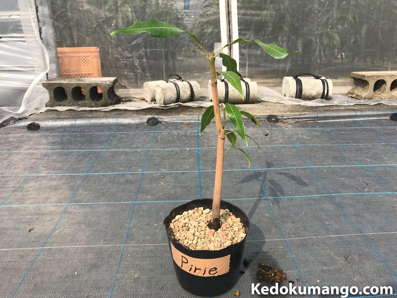 植え替えが完了したマピリエマンゴーの苗木