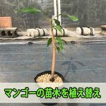 【マンゴー栽培】徳之島で種から育てるマンゴーの苗木を植え替えてみた!