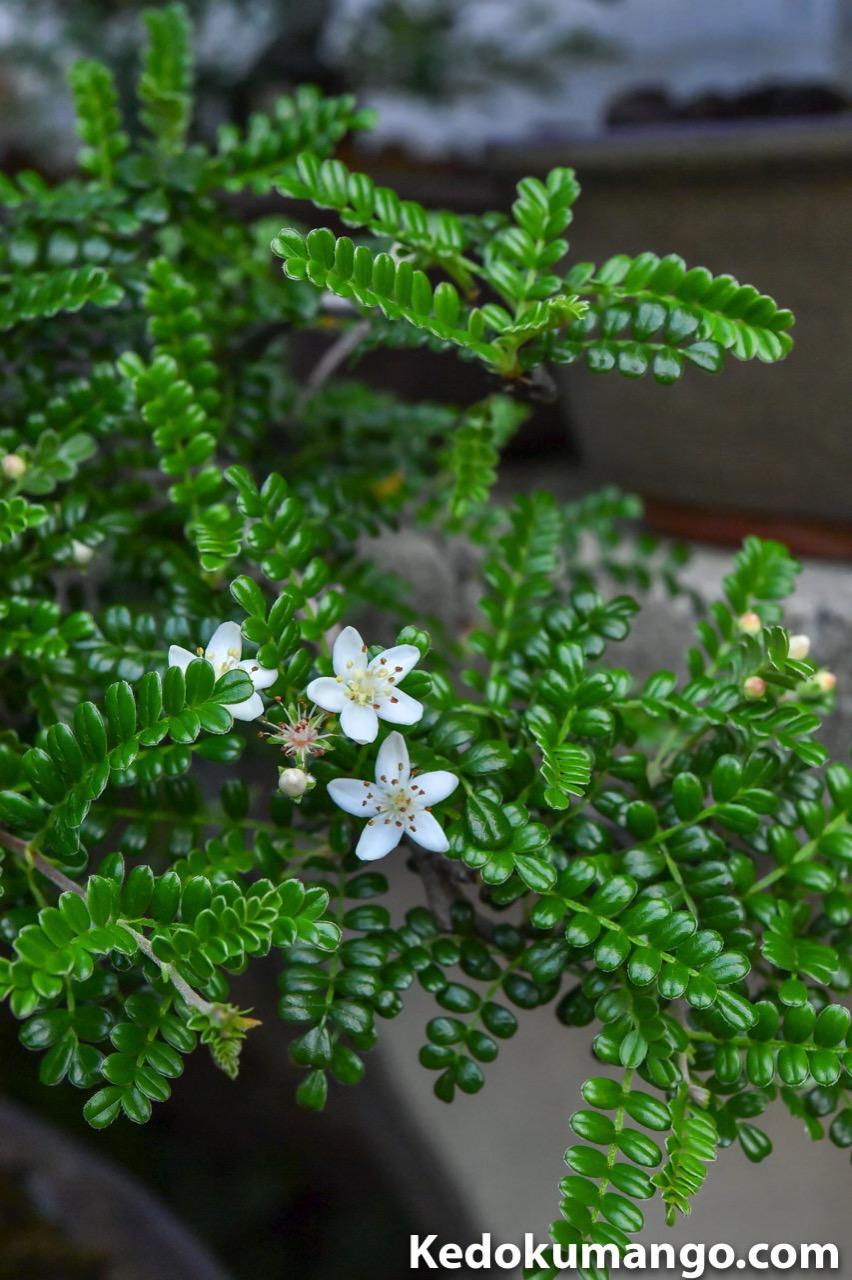 ストロボを使って撮影したテンバイの花