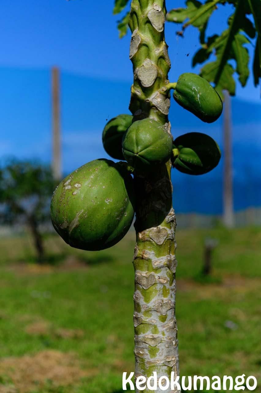 肥大するパパイヤの果実