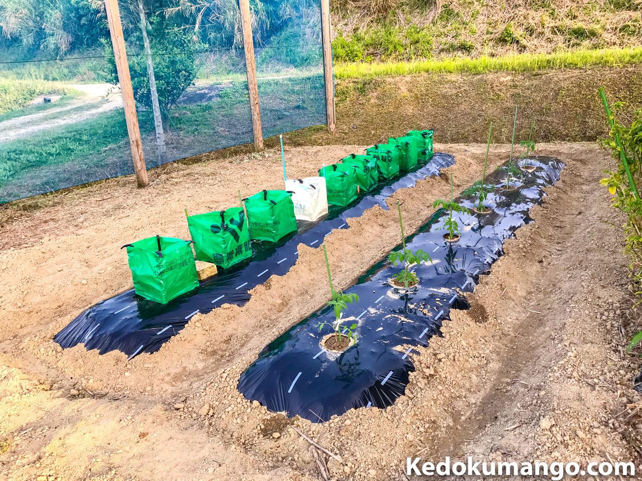 家庭菜園に苗を植え付けたところ