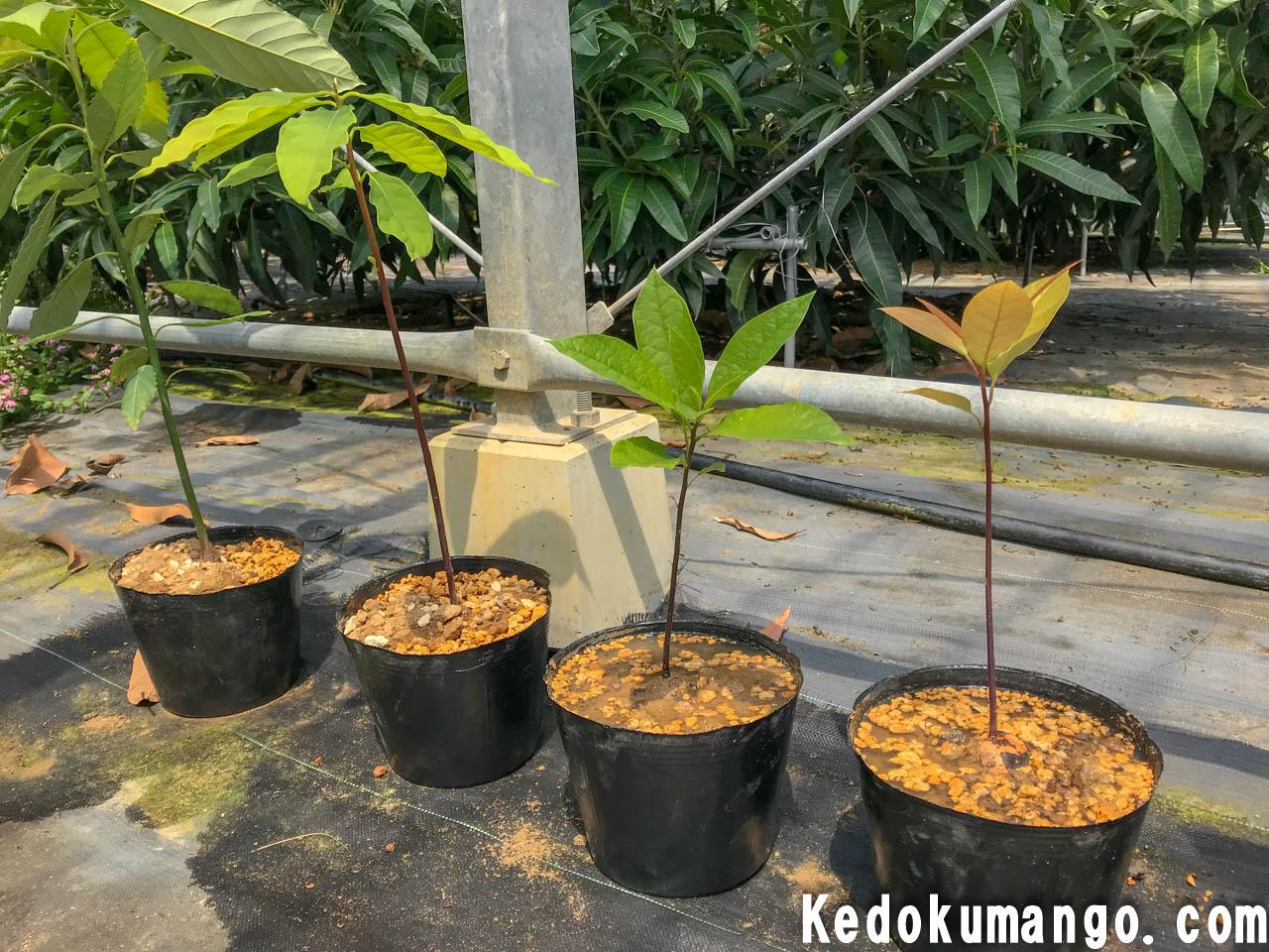 植え替えを終えたアボカドの苗木