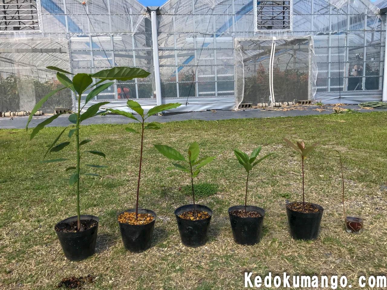 アボカドの苗木