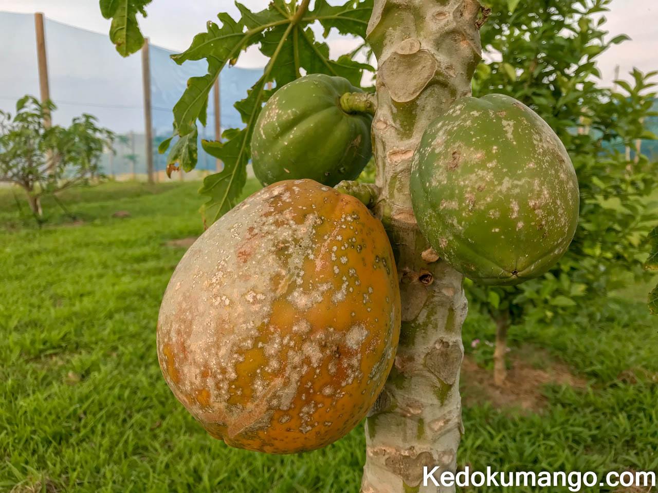 樹になるフルーツパパイヤ
