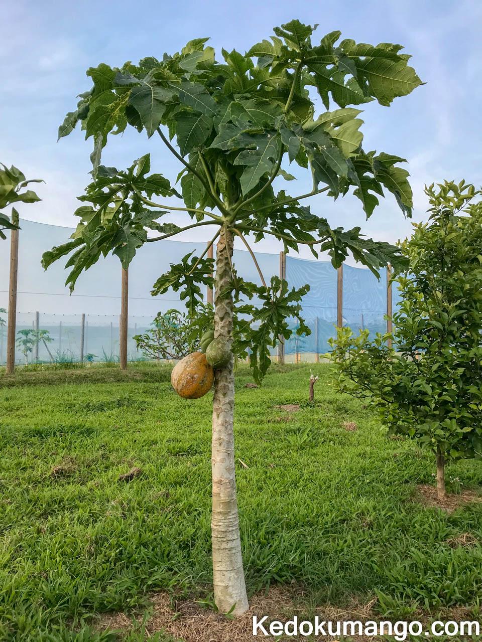 樹になるパパイヤの全景