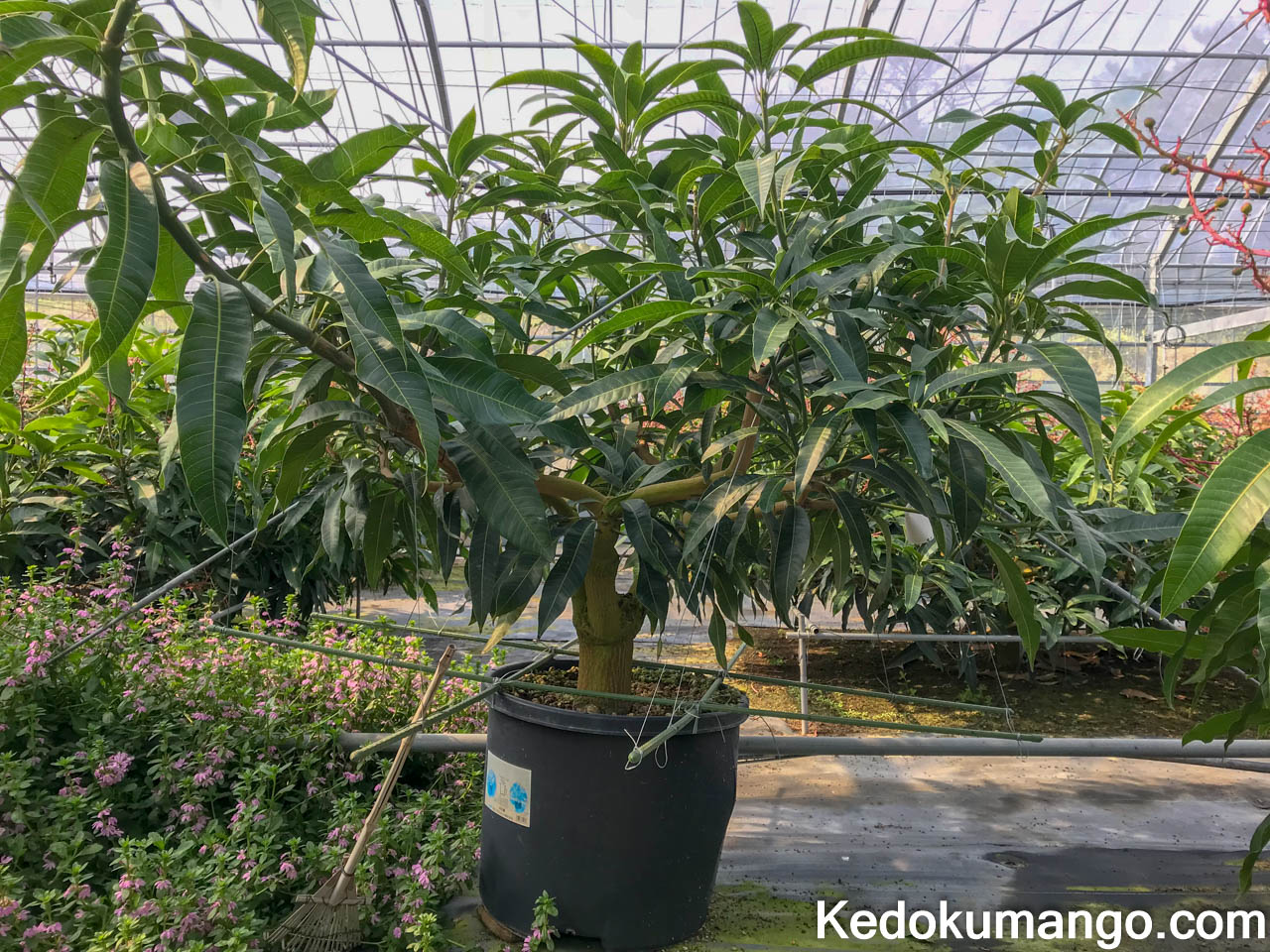 植え替え前のマンゴーの樹