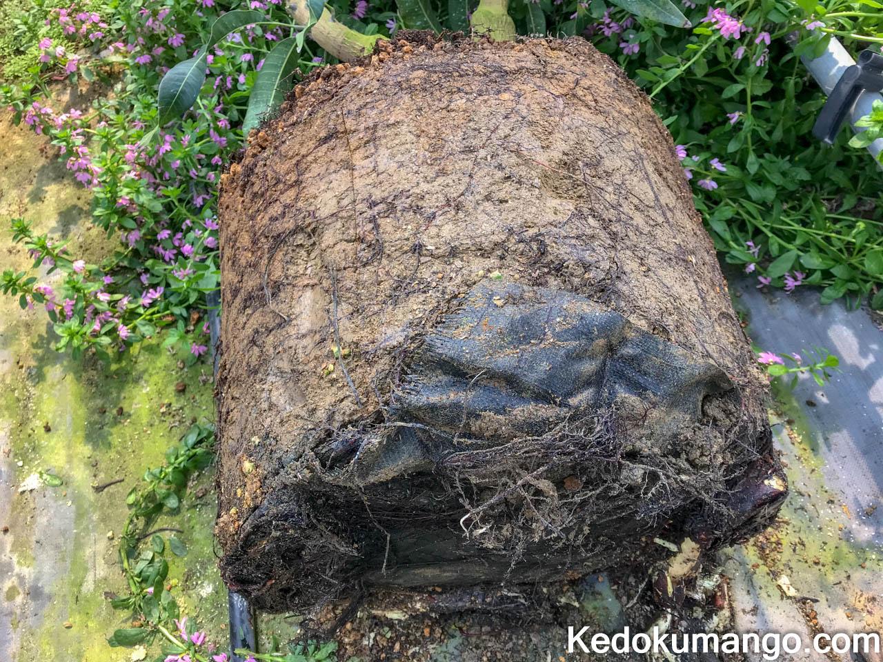 マンゴーの根の様子