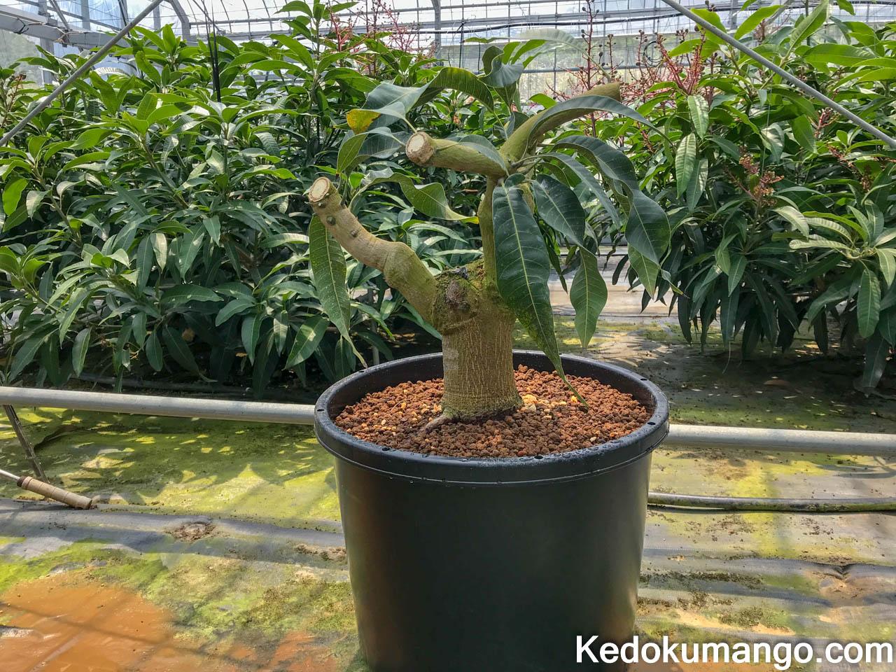 植え替えが完了したマンゴー