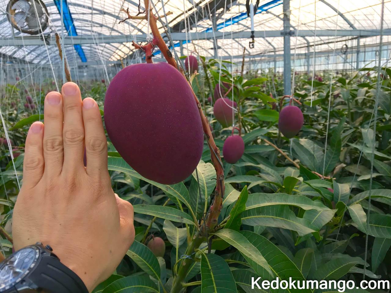 肥大するマンゴーの果実