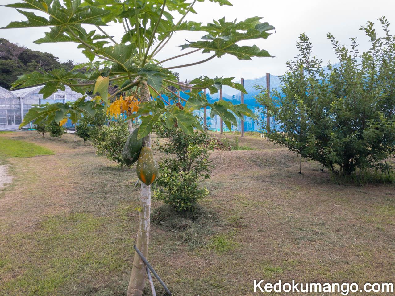 芝農園で実るパパイヤの果実