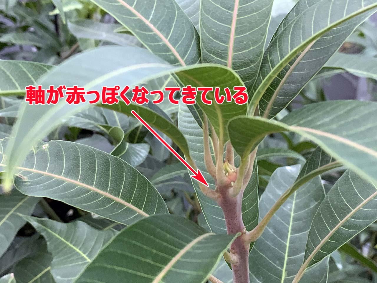 北棟のマンゴーの枝の様子