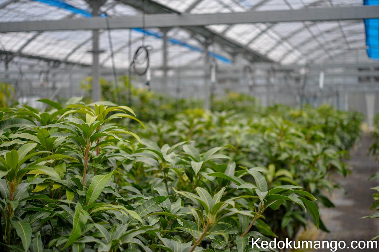 2019年2月のマンゴーの葉の様子