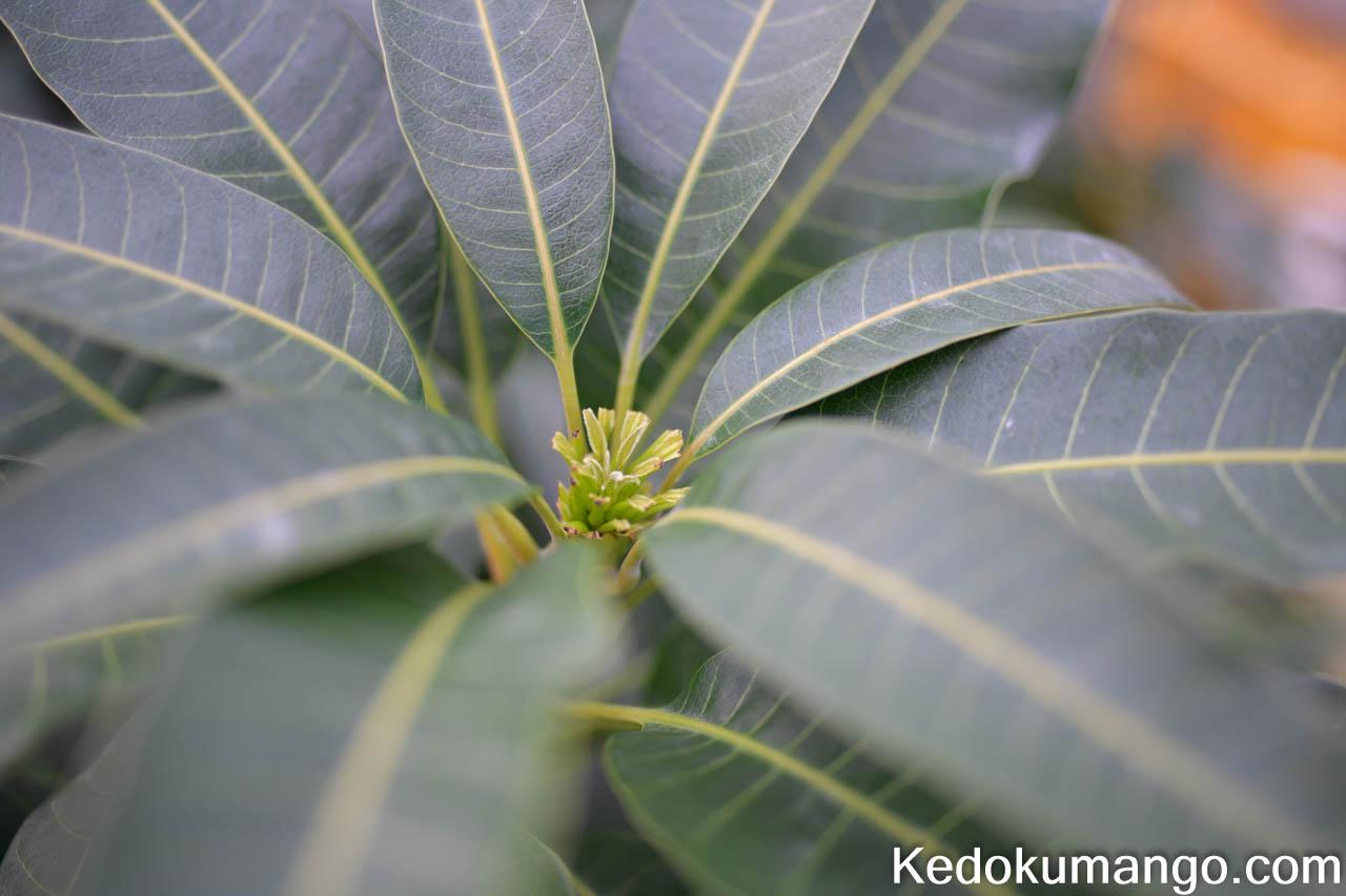 マンゴーの葉の処理_2