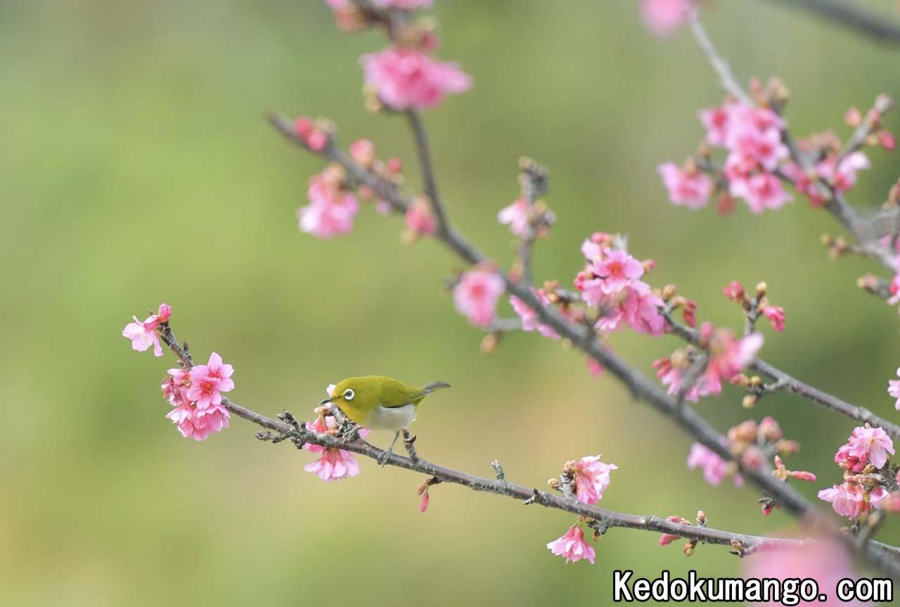 緋寒桜とメジロ2