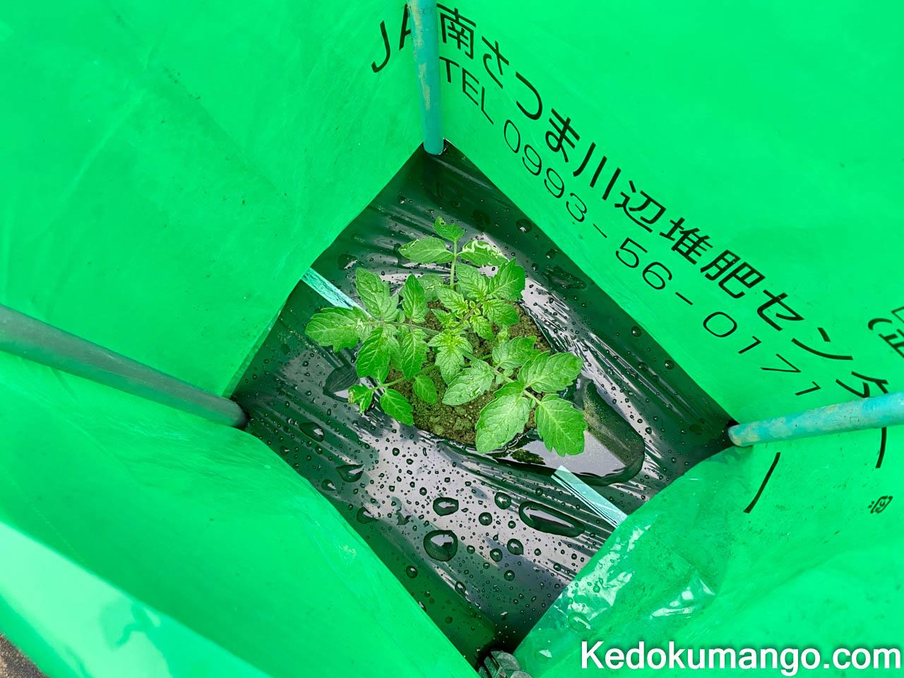 植え付けた苗の様子