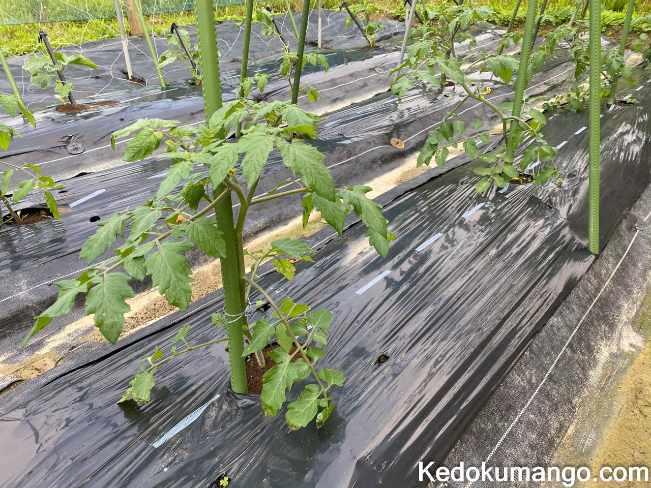 植え付けから2週間が経過したトマトの様子