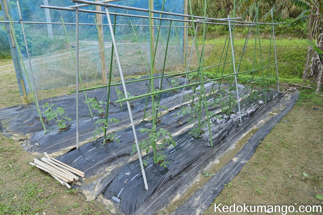 苗の植え付けから3週間が経過した家庭菜園